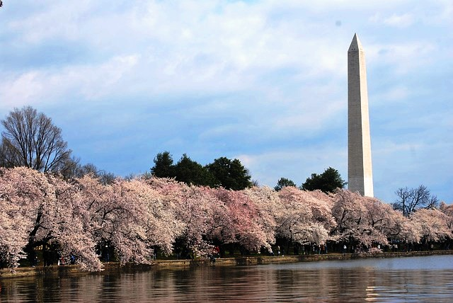 Cherry blossom is everywhere in Washington DC